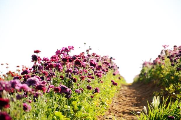 geraldine senior photos carlsbad flower fields 695